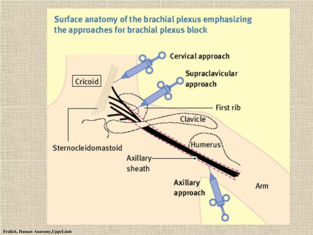 Frolich, Human Anatomy,UpprLimb