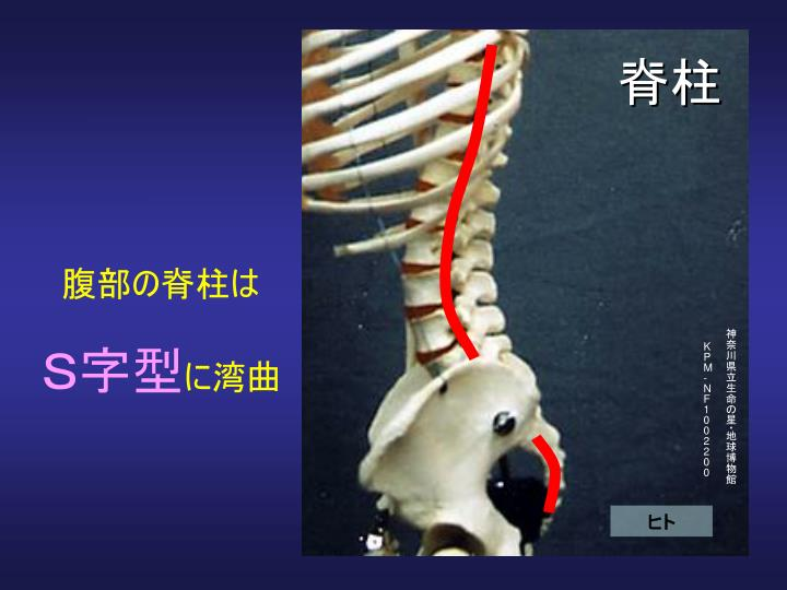 腹部の脊柱は