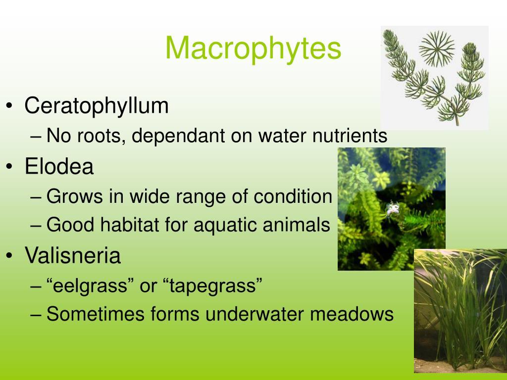 Macrophytes