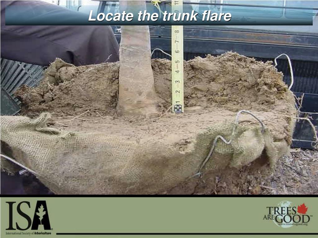 Locate the trunk flare