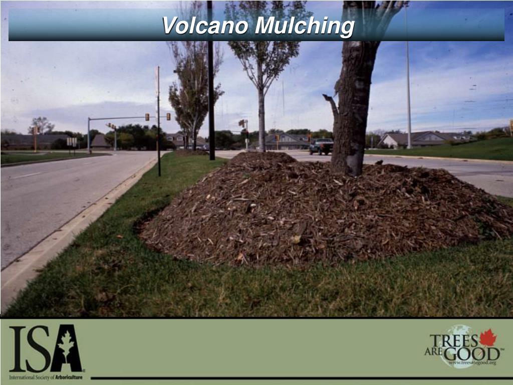 Volcano Mulching