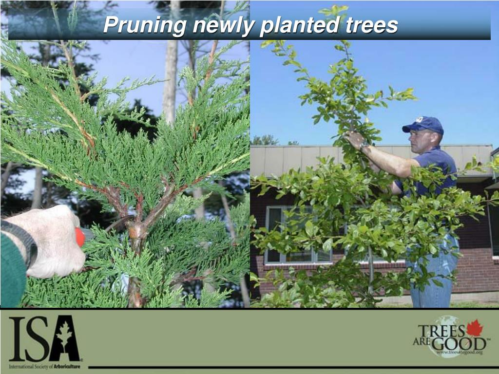 Pruning newly planted trees