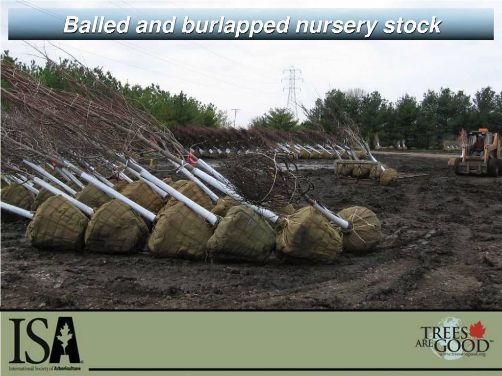 Balled and burlapped nursery stock
