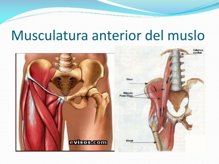 Musculatura anterior del muslo