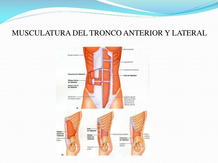 MUSCULATURA DEL TRONCO ANTERIOR Y LATERAL
