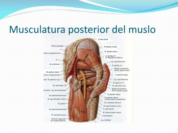 Musculatura posterior del muslo