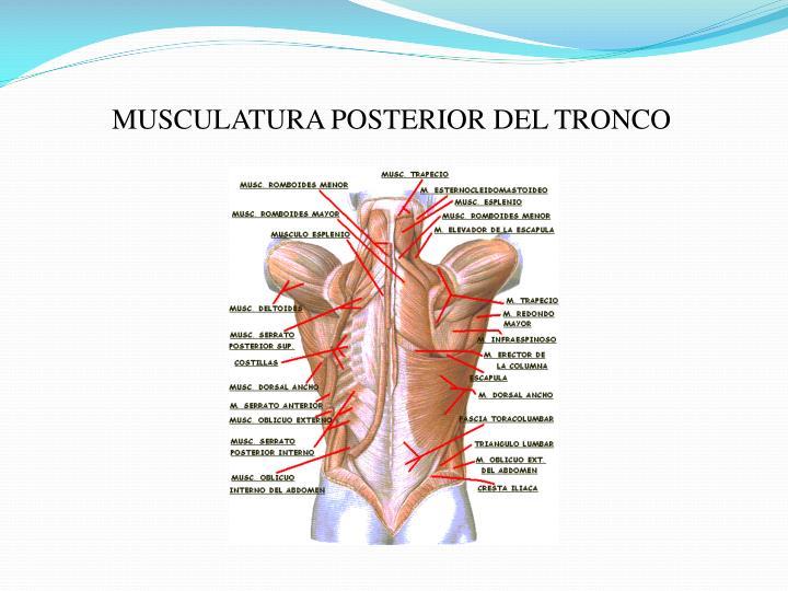 MUSCULATURA POSTERIOR DEL TRONCO
