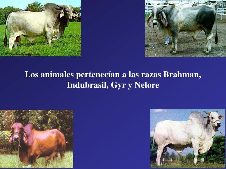 Los animales pertenecían a las razas Brahman, Indubrasil, Gyr y Nelore