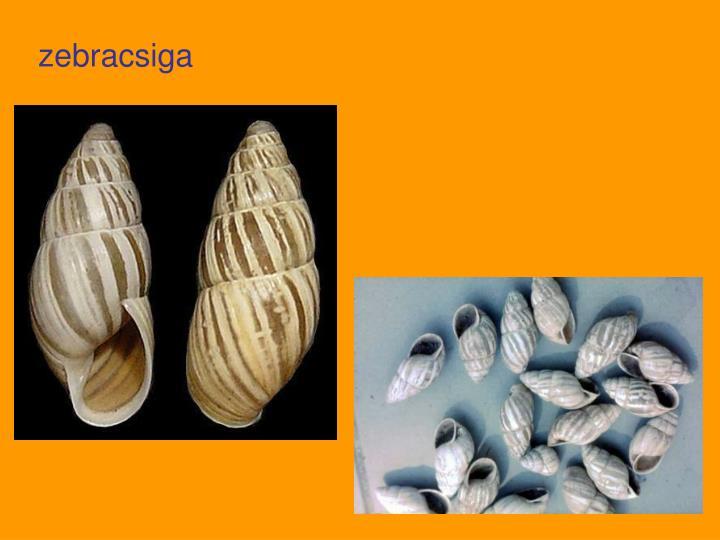 zebracsiga