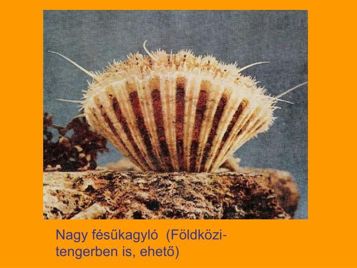 Nagy fésűkagyló  (Földközi-tengerben is, ehető)
