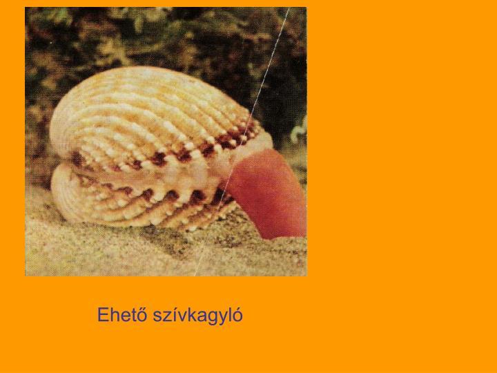 Ehető szívkagyló