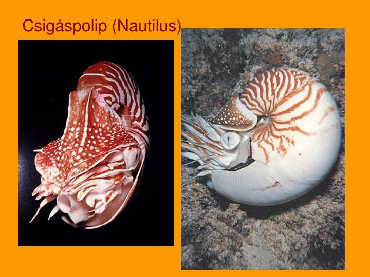 Csigáspolip (Nautilus)