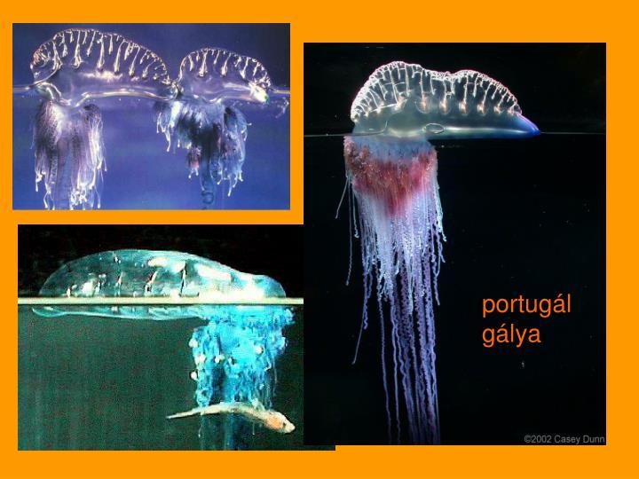 portugál gálya