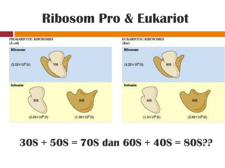 Ribosom Pro & Eukariot