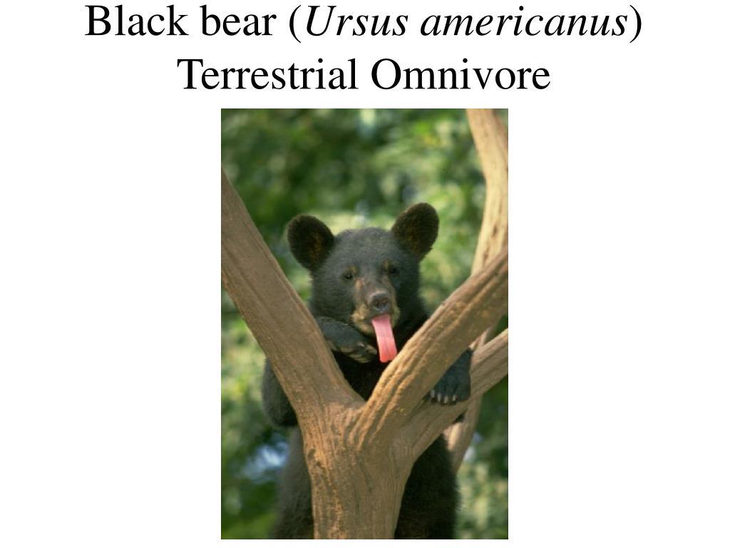 Black bear (