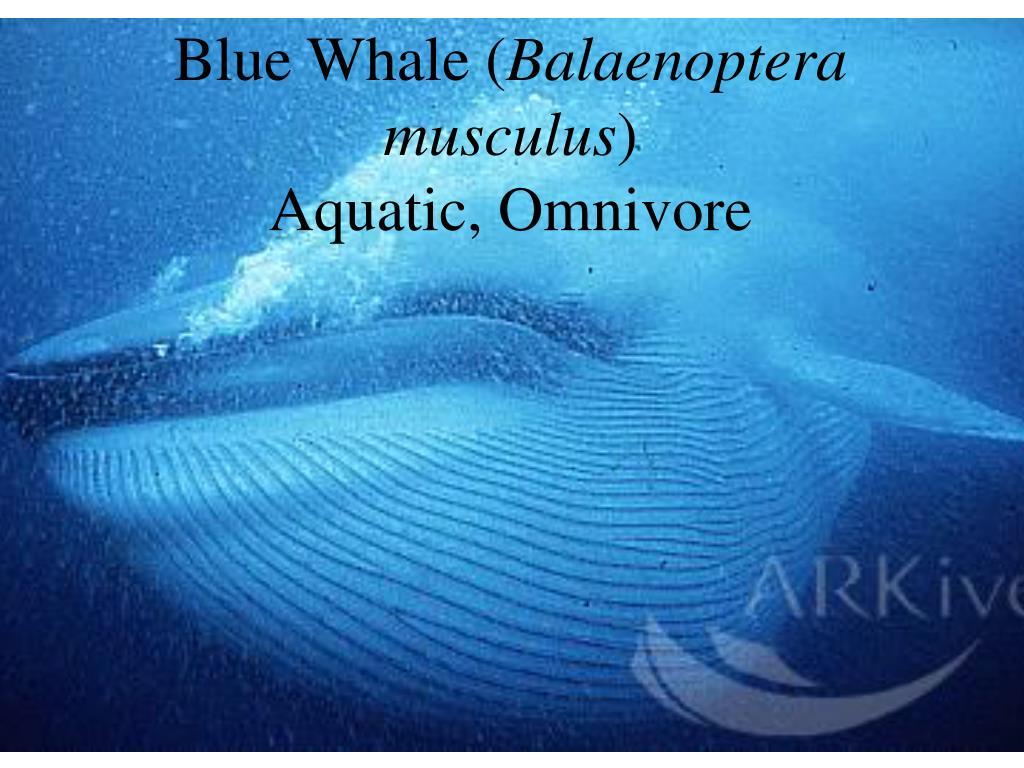 Blue Whale (