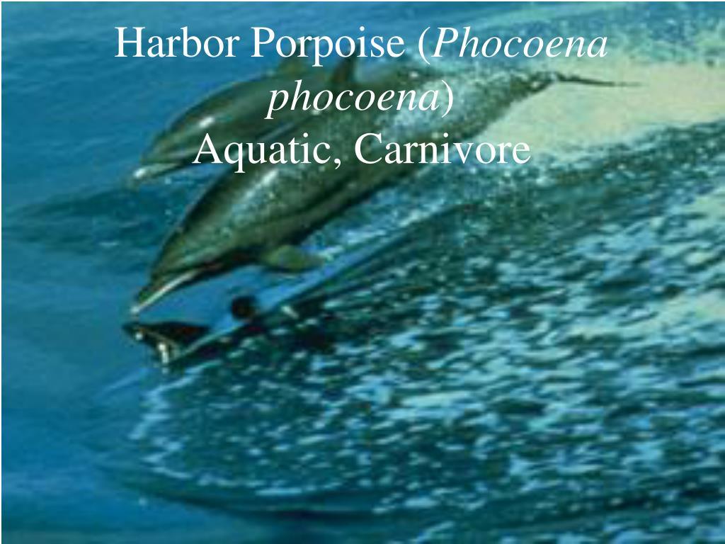 Harbor Porpoise (