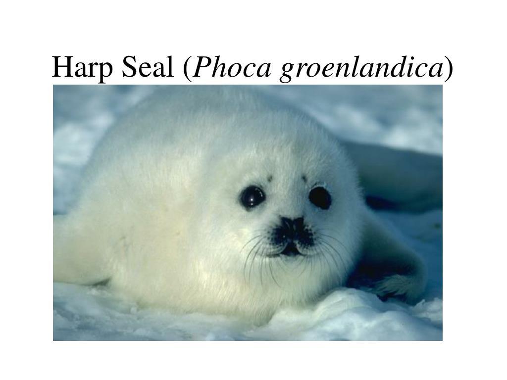 Harp Seal (