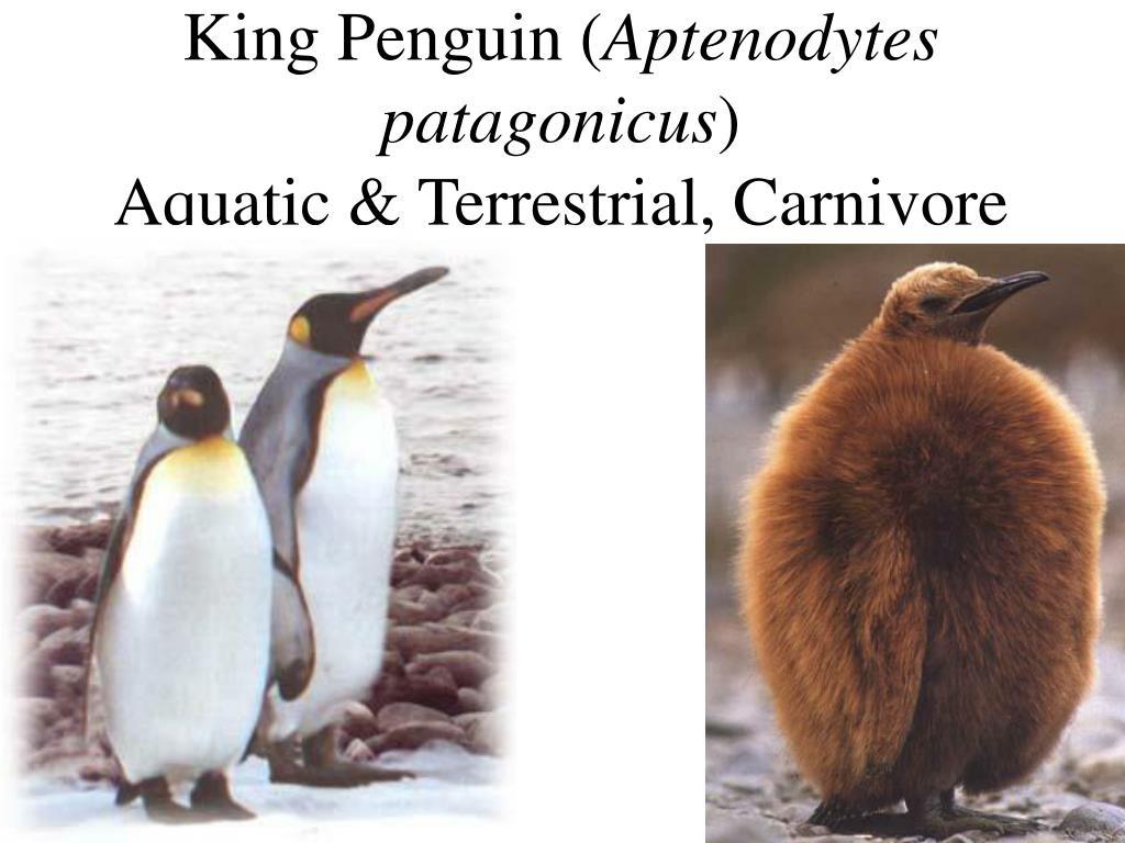 King Penguin (
