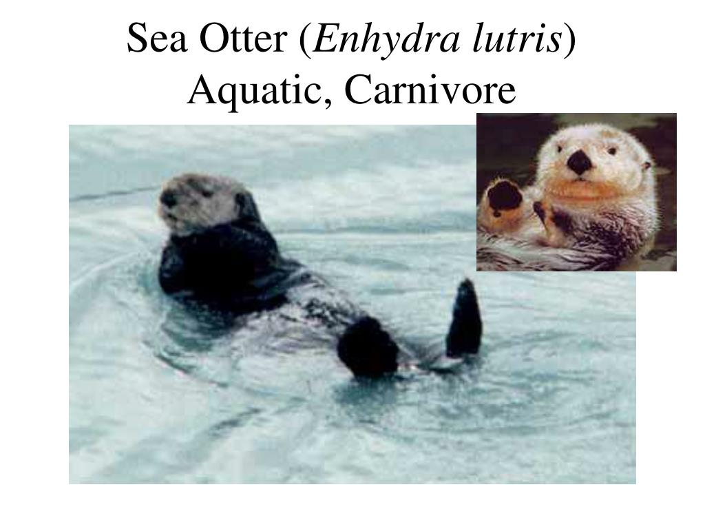 Sea Otter (