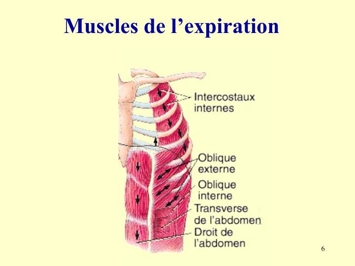 Muscles de l'expiration