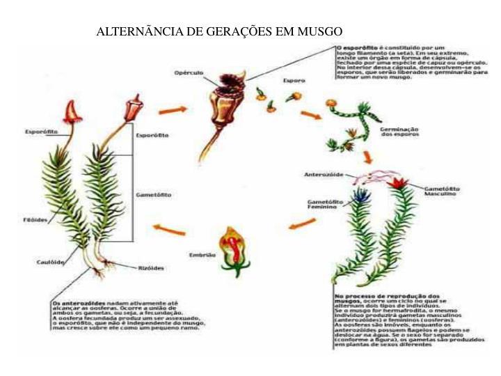ALTERNÃNCIA DE GERAÇÕES EM MUSGO