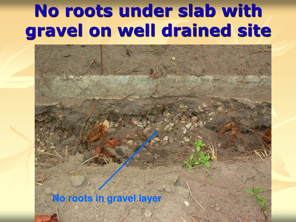 No roots under slab with gravel on well drained site