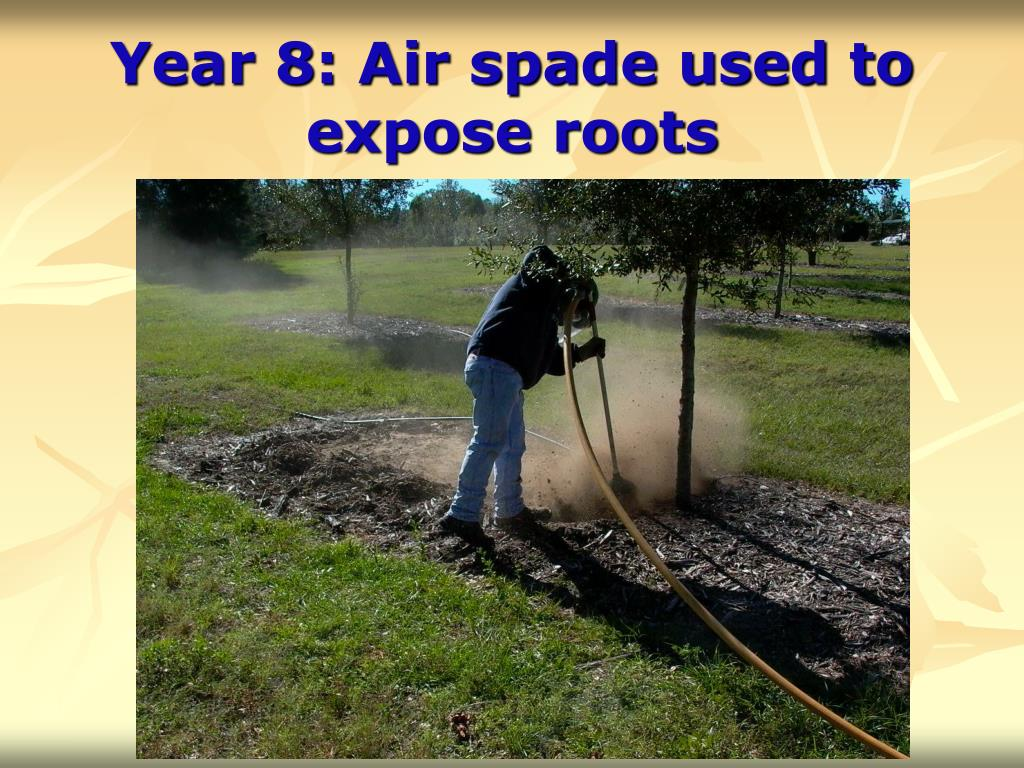 Year 8: Air spade used to expose roots