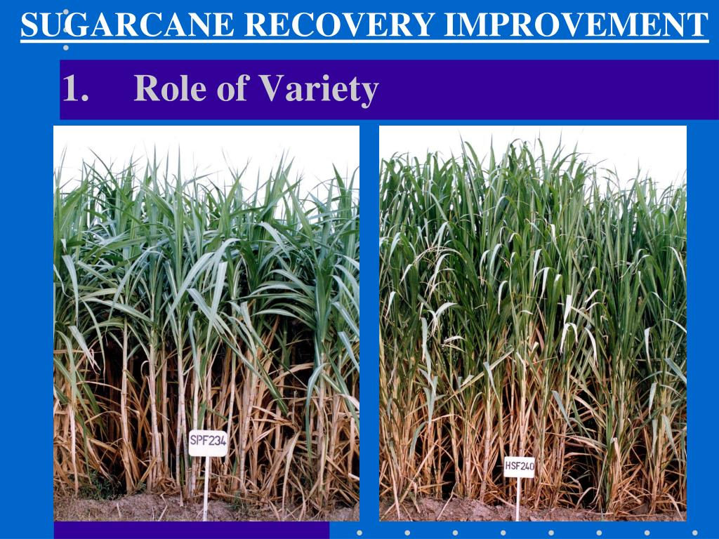 SUGARCANE RECOVERY IMPROVEMENT