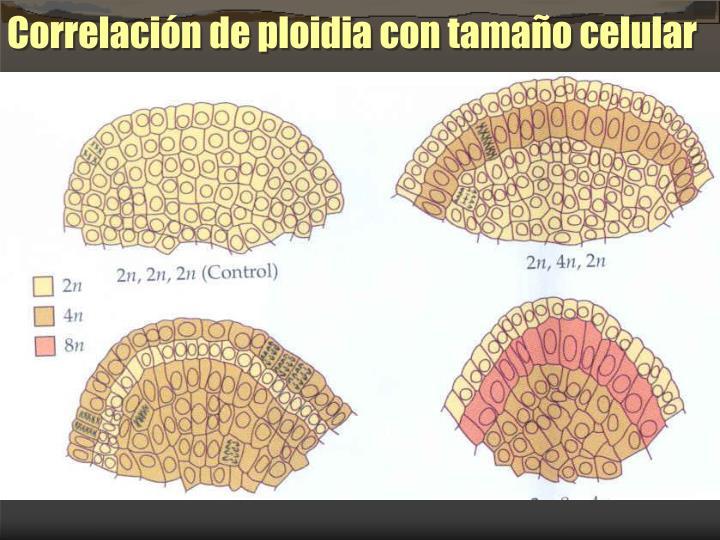 Correlacin de ploidia con tamao celular