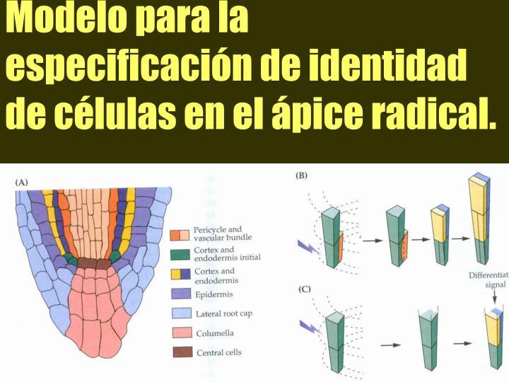 Modelo para la especificacin de identidad de clulas en el pice radical.