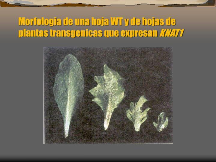 Morfologia de una hoja WT y de hojas de plantas transgenicas que expresan