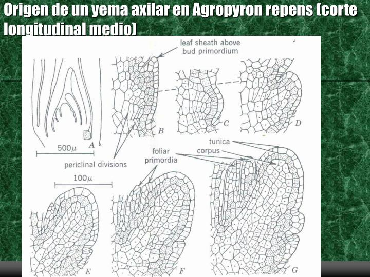 Origen de un yema axilar en Agropyron repens (corte longitudinal medio)