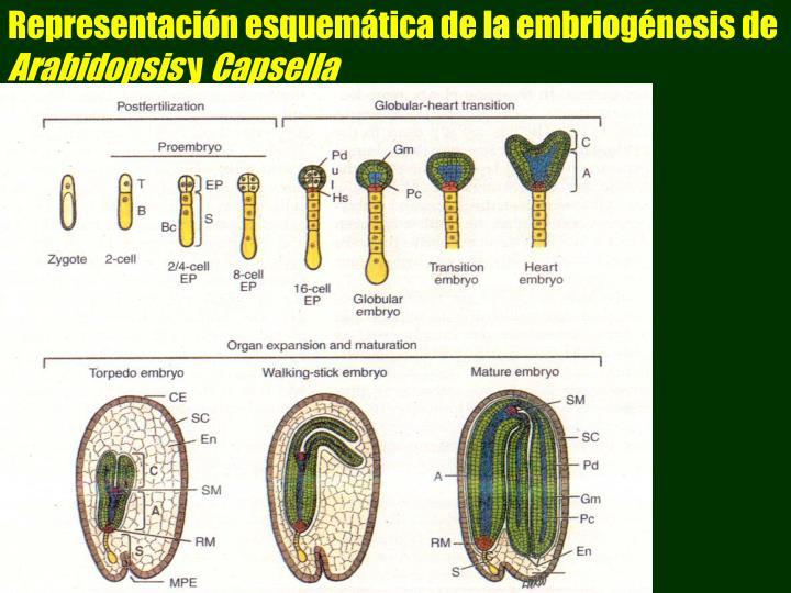 Representacin esquemtica de la embriognesis de