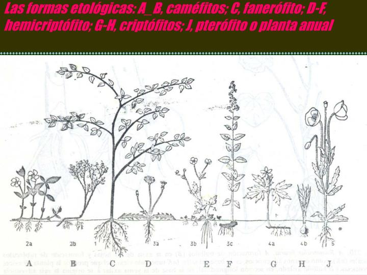 Las formas etolgicas: A_B, camfitos; C, fanerfito; D-F, hemicriptfito; G-H, criptfitos; J, pterfito o planta anual