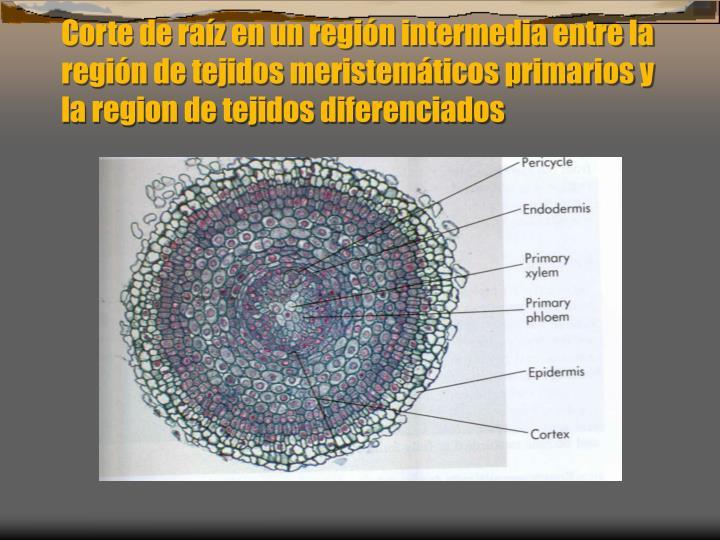Corte de raz en un regin intermedia entre la regin de tejidos meristemticos primarios y la region de tejidos diferenciados