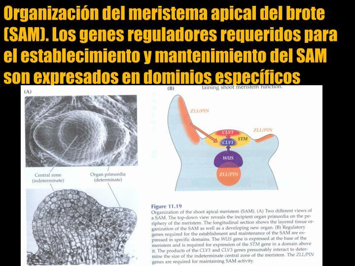 Organizacin del meristema apical del brote (SAM). Los genes reguladores requeridos para el establecimiento y mantenimiento del SAM son expresados en dominios especficos