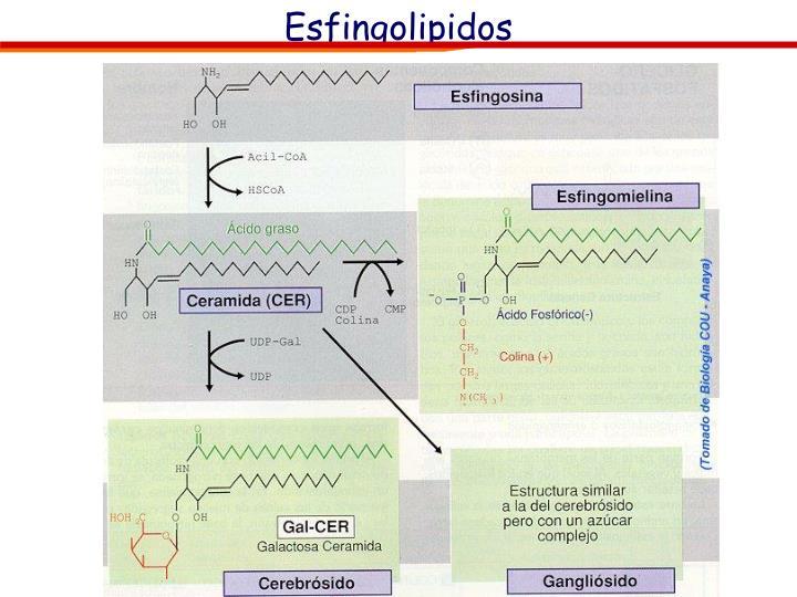 Esfingolipidos