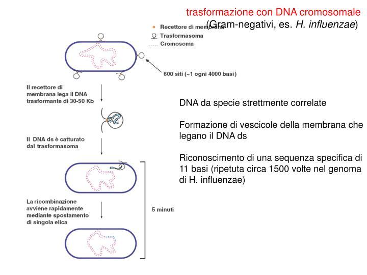 trasformazione con DNA cromosomale
