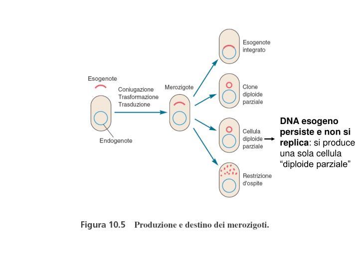 DNA esogeno persiste e non si replica