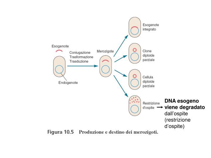 DNA esogeno viene degradato