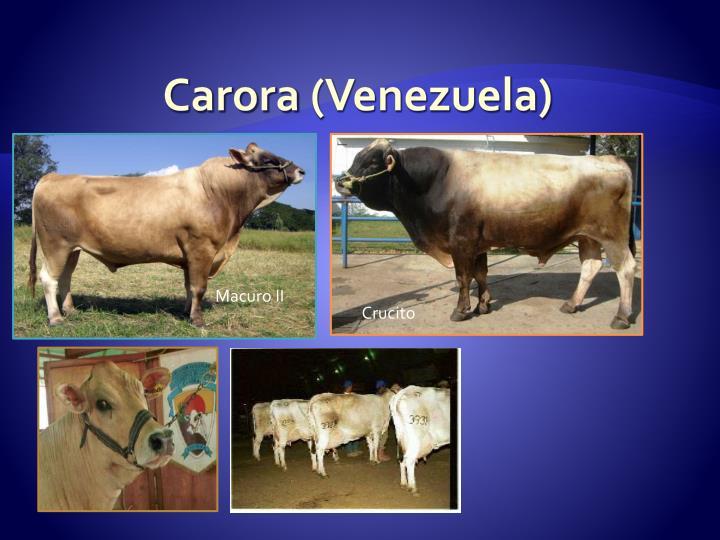 Carora