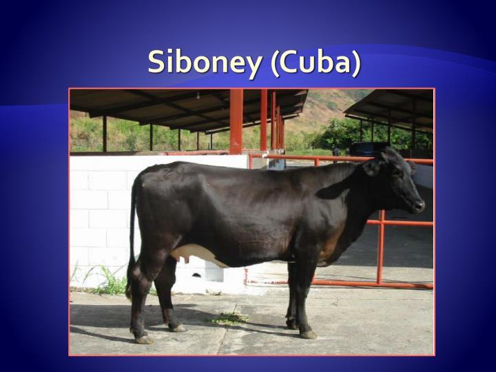 Siboney (Cuba)