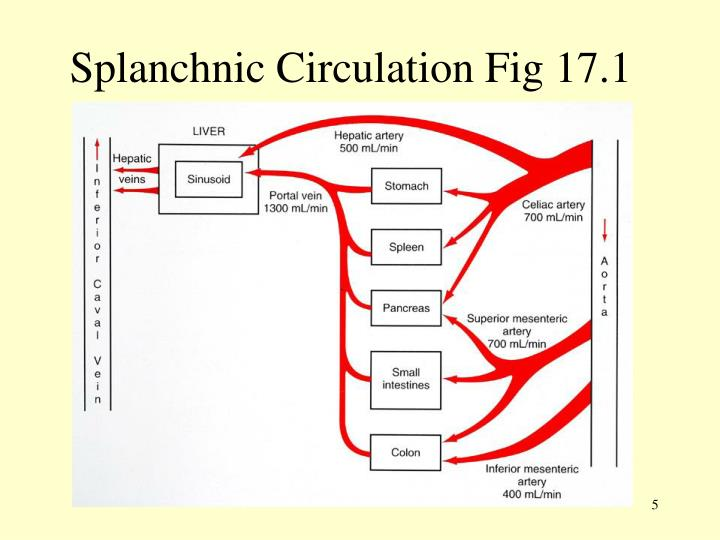 Splanchnic Circulation Fig 17.1
