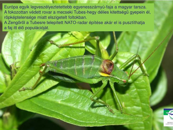 Európa egyik legveszélyeztetettebb egyenesszárnyú-faja a magyar tarsza.