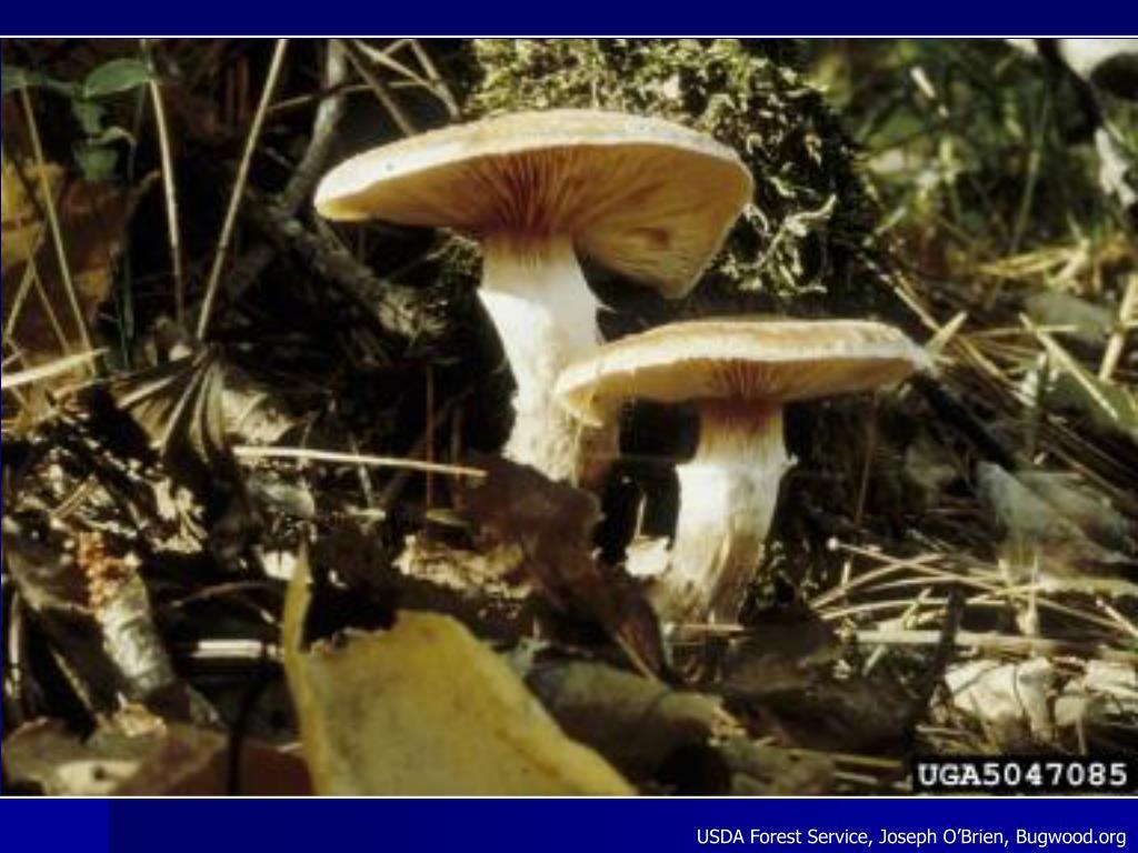 USDA Forest Service, Joseph O'Brien, Bugwood.org