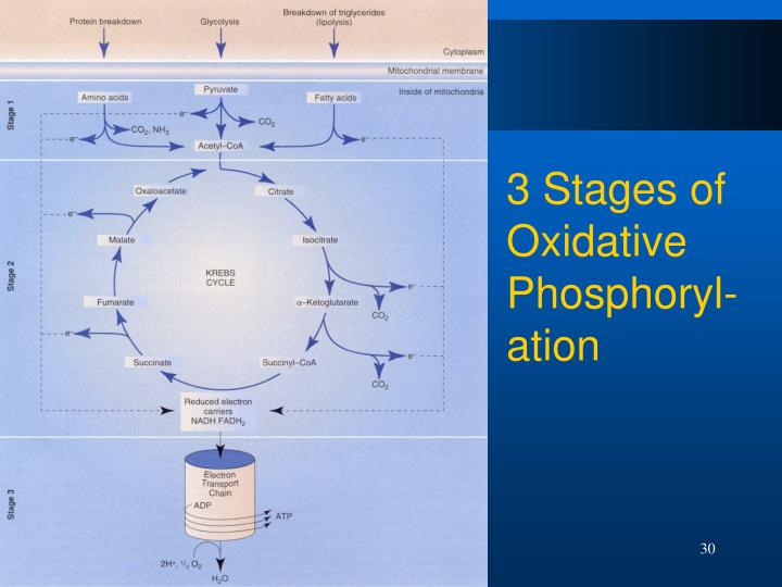 3 Stages of Oxidative Phosphoryl-ation