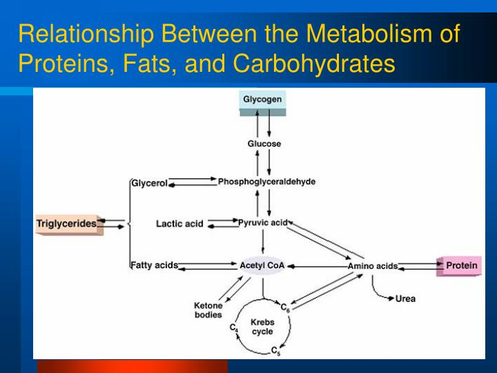 Relationship Between the Metabolism of Proteins, Fats, and Carbohydrates