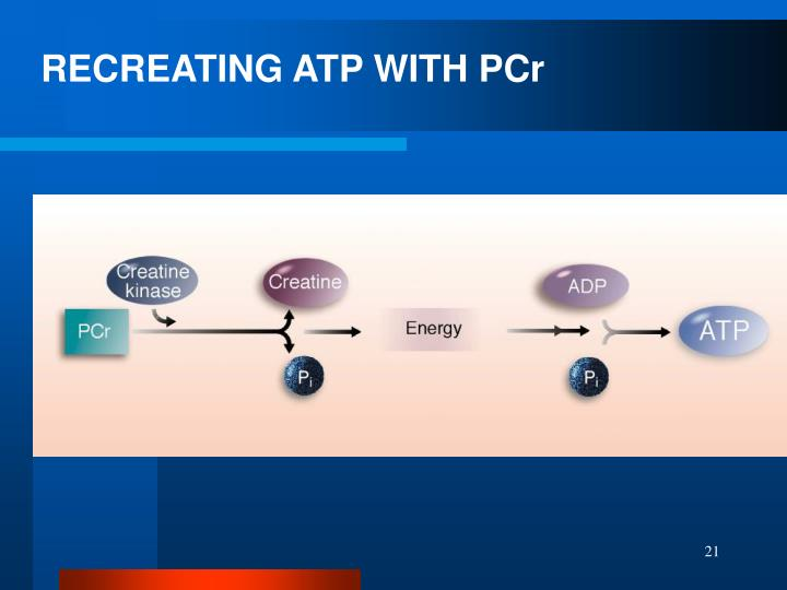 RECREATING ATP WITH PCr