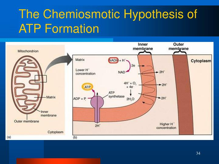The Chemiosmotic Hypothesis of ATP Formation